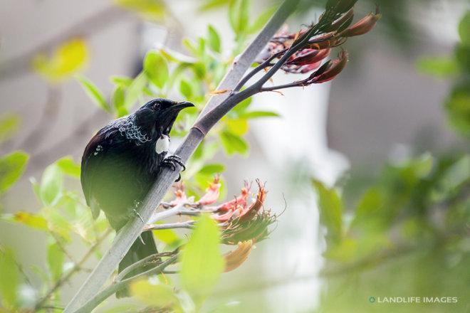 Tui Bird in flax, Marlborough Sounds, New Zealand