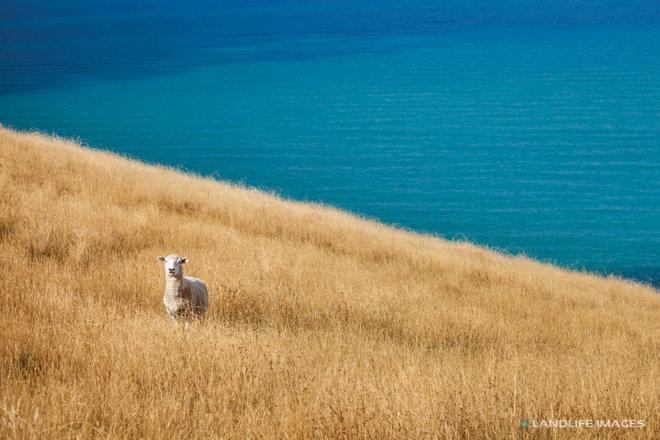 Lone Sheep by the sea, Banks Peninsula, New Zealand