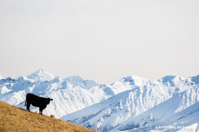 Beef Cow with Snowy New Zealand Mountain Backdrop
