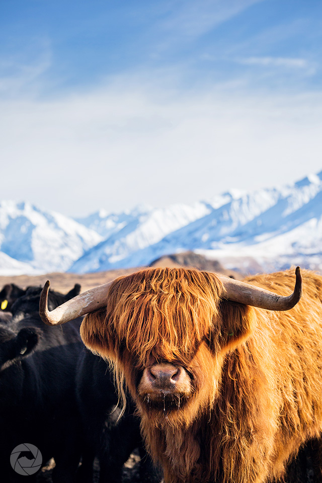 Highland cow against snowy backdrop, Mid-Canterbury, New Zealand, portrait