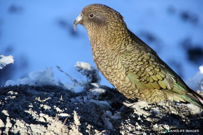 Kea, New Zealand's Native Alpine Parrot