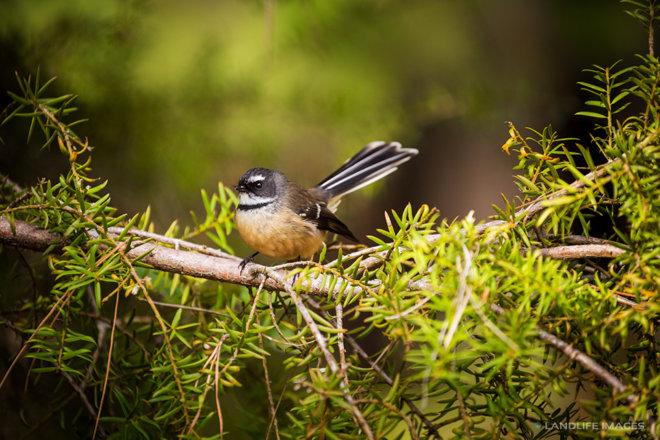 New Zealand Fantail (pīwakawaka)