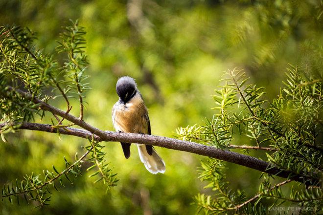 New Zealand Fantail (pīwakawaka) preening