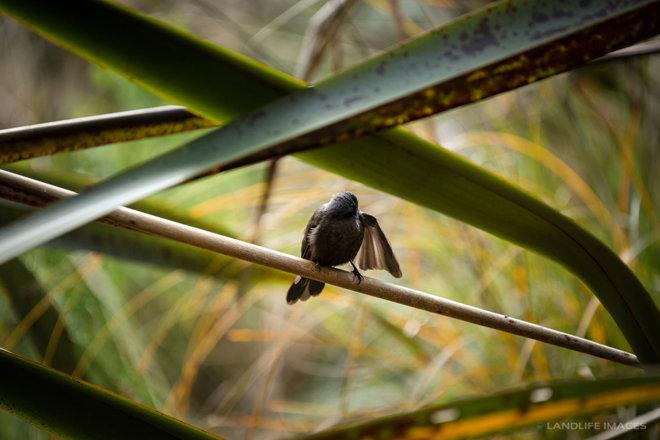 New Zealand black fantail (pīwakawaka) preening