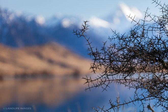 Matagouri (Discaria toumatou), or 'Wild Irishman' overlooking Lake Clearwater, New Zealand