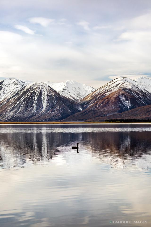 Lake Heron Black Swan