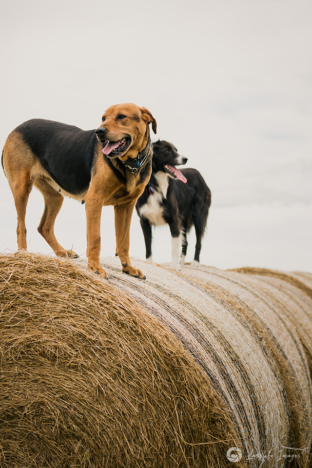 Farm dogs on haybales, huntaway mix and border collie