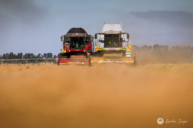 Two harvesters side by side harvesting brown top, Methven, Canterbury, New Zealand