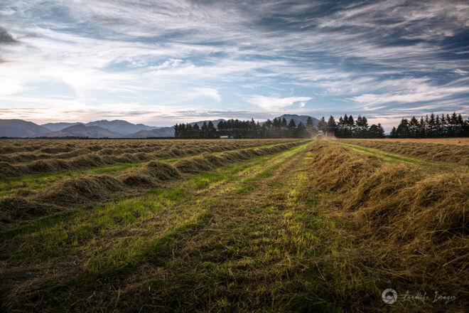 Harvesting of brown top, Methven, Canterbury, New Zealand