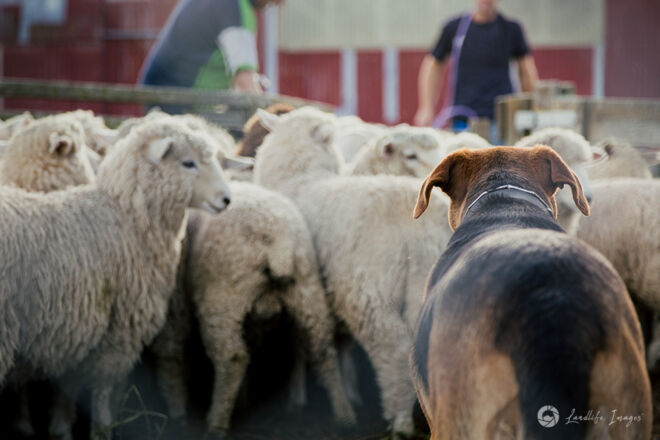 Sheep and dog in yards during drenching