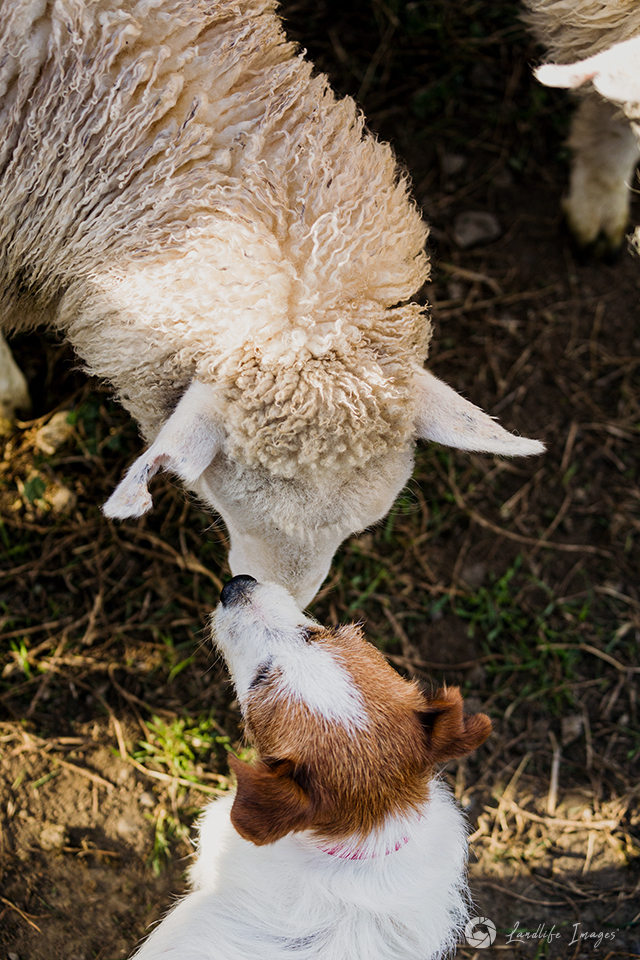 Friends? Small Jack Russell and lamb sussing each other out