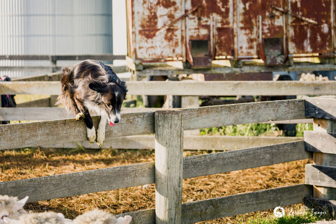 Border collie dog jumping yard fence