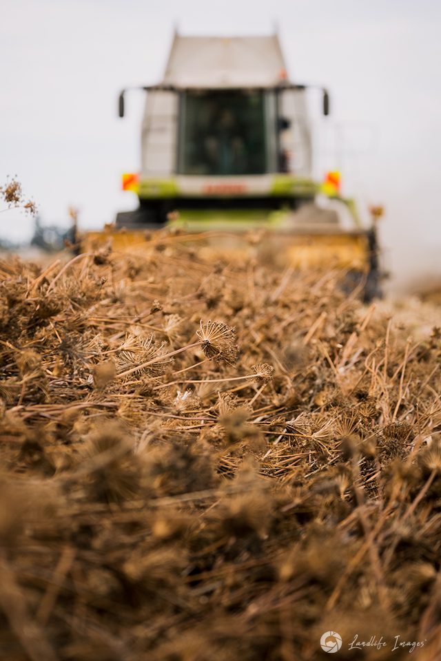 Harvesting of carrot seed close-up, Methven, Canterbury, New Zealand