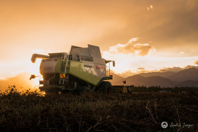 Harvesting of carrot seed at sunset, Methven, Canterbury, New Zealand