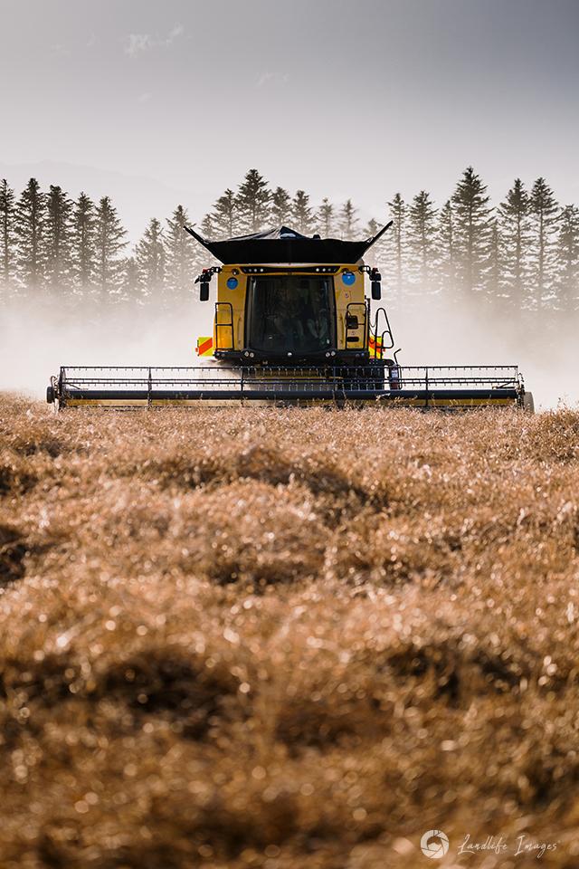 Harvesting of radish, Methven, Canterbury, New Zealand - portrait dimensions