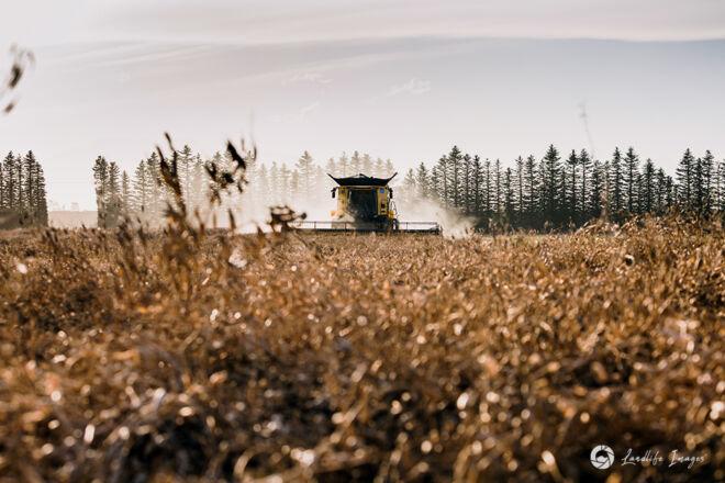 Harvesting of radish, Methven, Canterbury, New Zealand