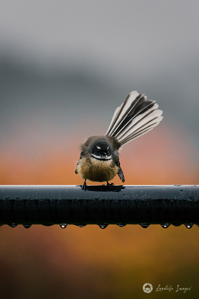 Native pīwakawaka/fantail bracing against the elements with autumn colours