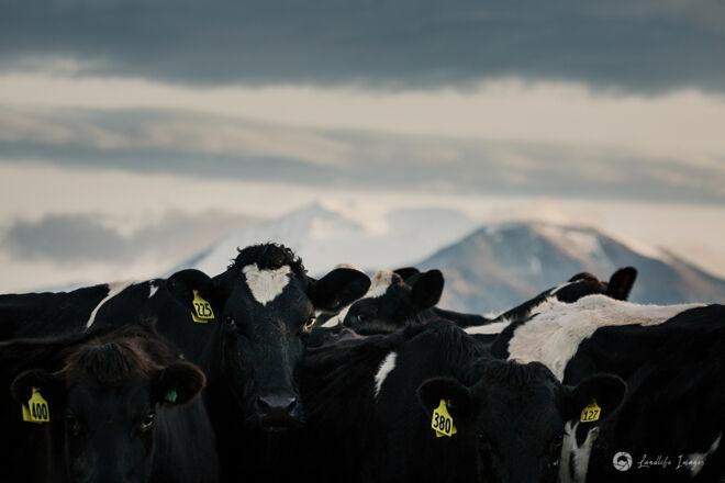 Cow line up, Methven, Canterbury