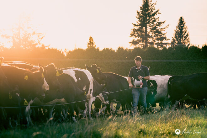 The Glebe Cows, Family, Moving, June 2021