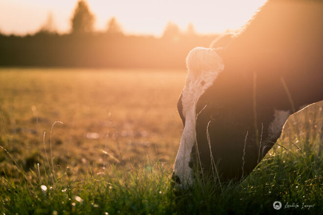 Cow grazing pasture, Methven, Canterbury