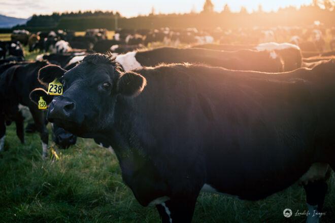 Dairy cow at sunrise, Methven, Canterbury