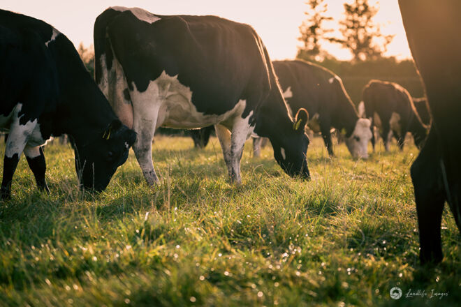 Cows grazing pasture, Methven, Canterbury