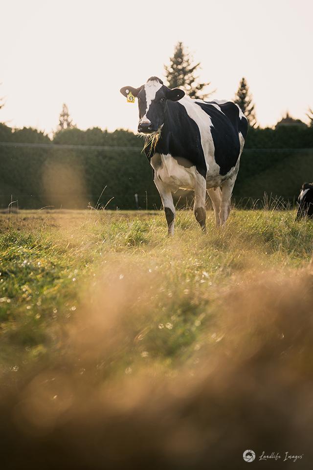 Cow on pasture, Methven, Canterbury