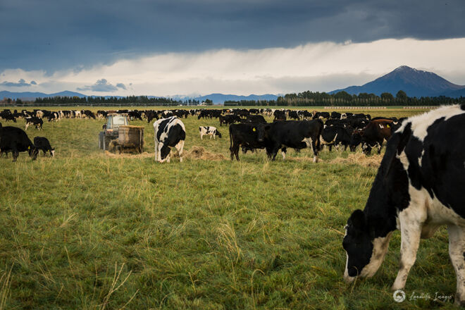 Feeding out to cows grazing pasture and straw, Methven, Canterbury