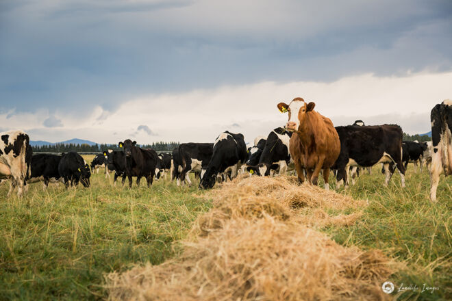 Cows in winter on pasture after feeding out, Methven, Canterbury
